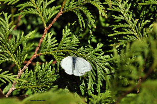 A white cabbage moth rests on juniper in the yard.