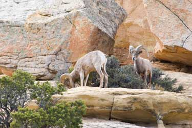 Two rams on a rock ledge overlooking the Serpent's Trail