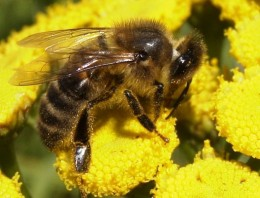Honeybee by Erik Hooymans on wikimedia commons