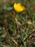 Buttercups, History and Uses