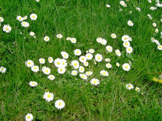 Daisies are often associated with the habitat of bulbous buttercups.