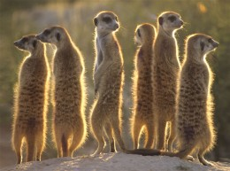 Meerkats-The real thing