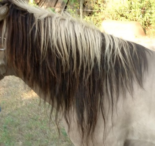 The two-tone mane