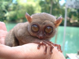 An excellent bug hunter during nighttime, the Philippine Tarsier may look unusual but this animal is relatively tame and gentle. Photo from sthalumni.ning.com