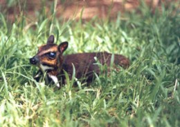 The elusive Philippine mouse deer in Palawan Philippines. Photo from pcsd.ph