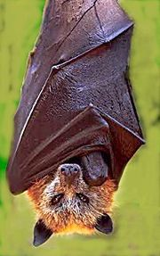 This creature is neither Count Dracula nor a Fox. This is the world's heaviest bat in the world and its staple diet is consists of fruits and insects. Photo from weyakin.blogspot.com