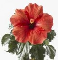 Hibiscus: the flower that may cure or control your UTI.