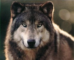 BEAUTIFUL WOLVES - They Need Help