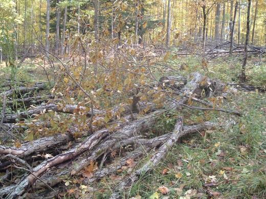 Shaggy bark Hickory