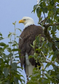 The American Bald Eagle can be found in protected wildlife areas around Lee's Summit.