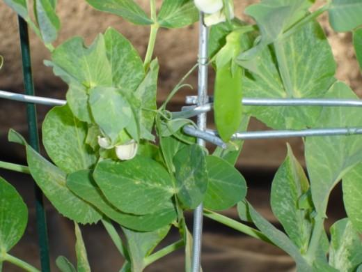 Sweet peas in spring.
