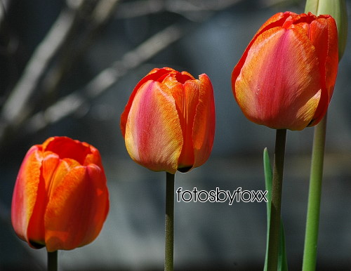 more beautiful tulips from my garden; love these colours