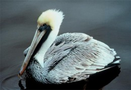 Brown pelican/Photo by: Gary M. Stolz/U.S. Fish and Wildlife Service