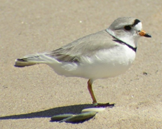 Pipin plover/Photo by: Alice Van Zoeren, 2005/National Park Services, US Department of the Interior