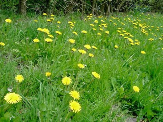 Dandelions flower in uncountable numbers during late spring and early summer. Photograph by D.A.L.