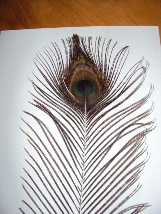Peacock feather, one of dozens on the road where the accident occurred.