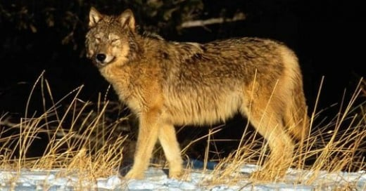Canis lupis irremotus, weighs 40-60 pounds less than the Canadian Wolf, canis lupis occidentalis.