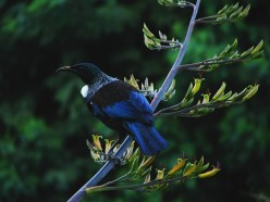 The Fascinating Tui Bird