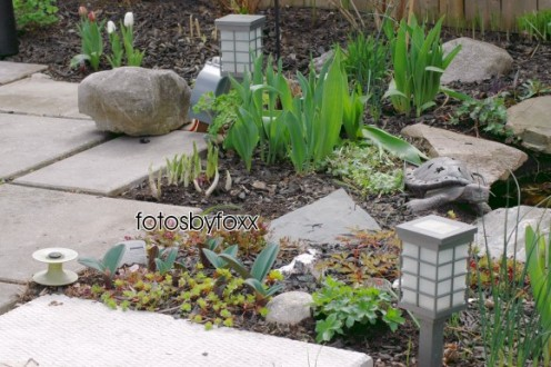 budding beginnings - urban pavings and traditional perennials like tulips, hostas and astilbes bordering my backyard pond