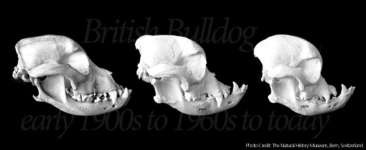 The above photograph shows the dramatic change in bone structure due to effects of selective breeding to breed standards over the last century. Note the jutting extreme lower jaw.