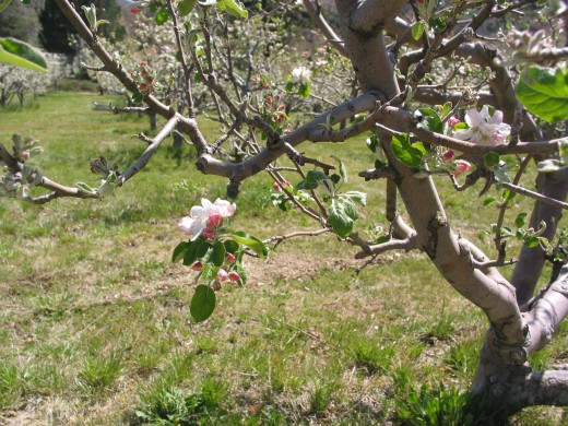 I took these photos April/2010-This is a lovely apple blossom on Riley's Ranch.