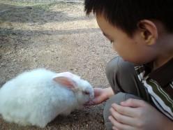 Feeding rabbit at rabbit farm in Bukit Tinggi, Selangor, Malaysia.