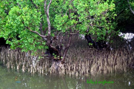 Pneumatophores of mangrove