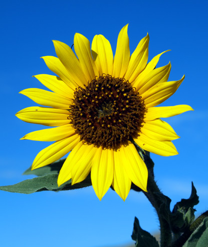 Image Credit: NPS Photo by Jim Pisarowicz http://www.nps.gov/wica/naturescience/wildflowers-sunflower.htm