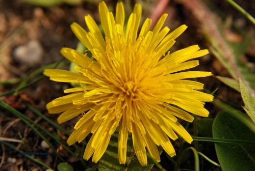 A dandelion has a striking flower.