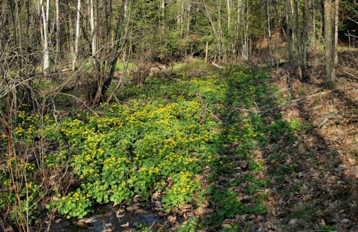 The swamp is filling with the yellow marsh marigolds.
