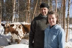 Hanz takes control of his cows in Jokkmokk