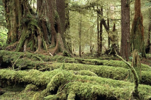Coastal rainforest photo from hickerphoto.com