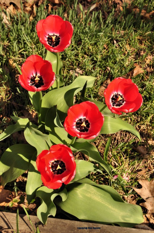 Tulips reach for the sun in the garden.