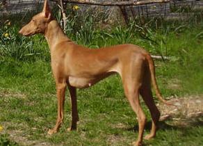 Pharaoh Hound 6