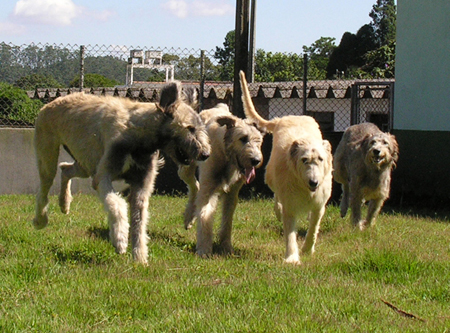 Irish Wolfhound 7