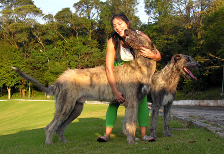 Irish Wolfhound 9