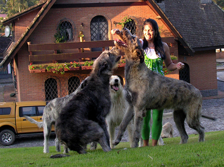 Irish Wolfhound 11