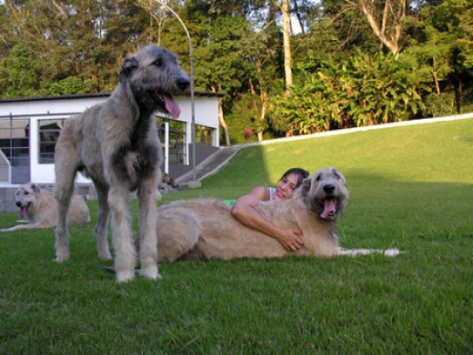 Irish Wolfhound 13