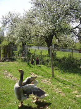 The geese eat the grass and the chickens eat the worms that would eat our apples!