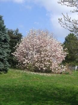 Magnificent magnolia in a garden in St Gervais, next village to Videix