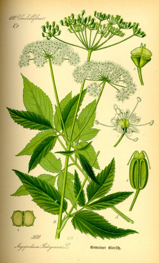 Illustration of goutweed.