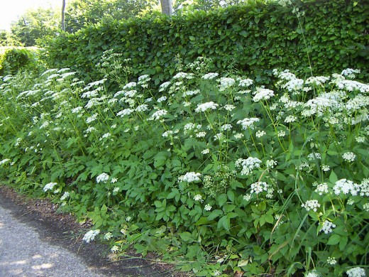 The white flowers of goutweed are borne in umbels. Photograph courtesy of Carrona