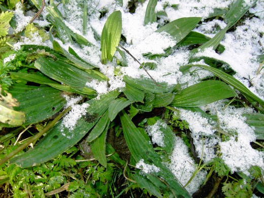 The lance -shaped foliage of the ribwort plantain may be found throughout the year, such as this specimen covered by snow. Photograph by D.A.L.