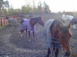 Roaming horses in Icelandic horse farm in Linkoping