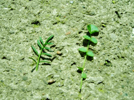 I have put the two types of leaves side by side to illustrate the difference. The stem leaves on the left are linear , while the basal leaves on the right have leaflets that are more rounded. Photograph by D.A.L.