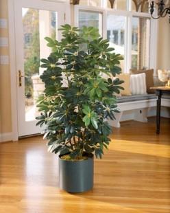 The Schleffera plant.
