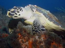 The Hawksbill Turtle