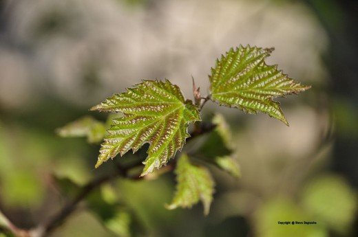 Maple leaf viburnum looks good in spring, too.