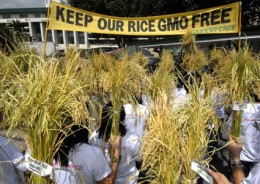 GMO rice and natural rice planted side by side results in all of the new crop being GMO contaminated.
