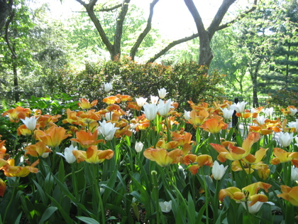 Orange and white tulips in Central Park / Photo by E. A. Wright